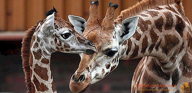 الزرافة: أمي تولا تقدم الطفل Murchison