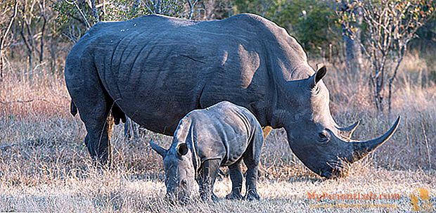 المفاتيح الإسعافات الأولية وحيد القرن: تأخذ Zoom Biopark أيضًا الحقل مع دي كابريو