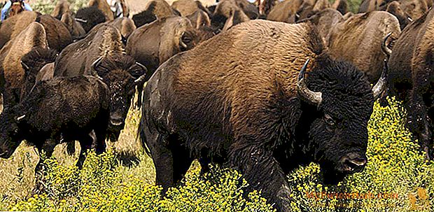 Viaje a Dakota del Sur para la gran reunión de bisontes.